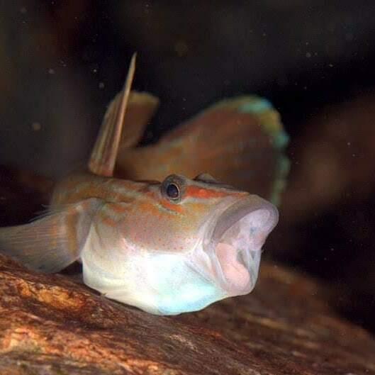 がおー。 #屋久島 #シュノーケリング #ダイビング  #ヨシノボリ #underwaterphotography #divingphoto #oceanphotography  #snorkeling #scubadiving #uwphotography #ゴープロ #gopro #sjcam #actioncam #水中写真 #川遊び #楽しく安全に海遊び  #ただいま休業中pic.twitter.com/B9XVuW4Csd