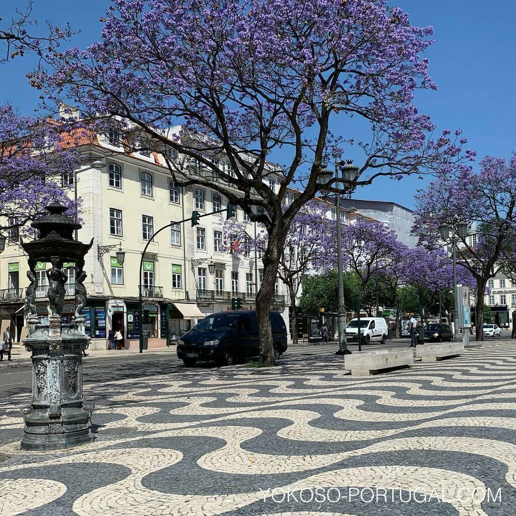 test ツイッターメディア - ロシオ広場の石畳と紫色のジャカランダ。今年は例年より開花がはやいようです。来年は是非この時期にリスボンを訪れてください。 #リスボン #ポルトガル #ジャカランダ https://t.co/fg9IxgehOJ