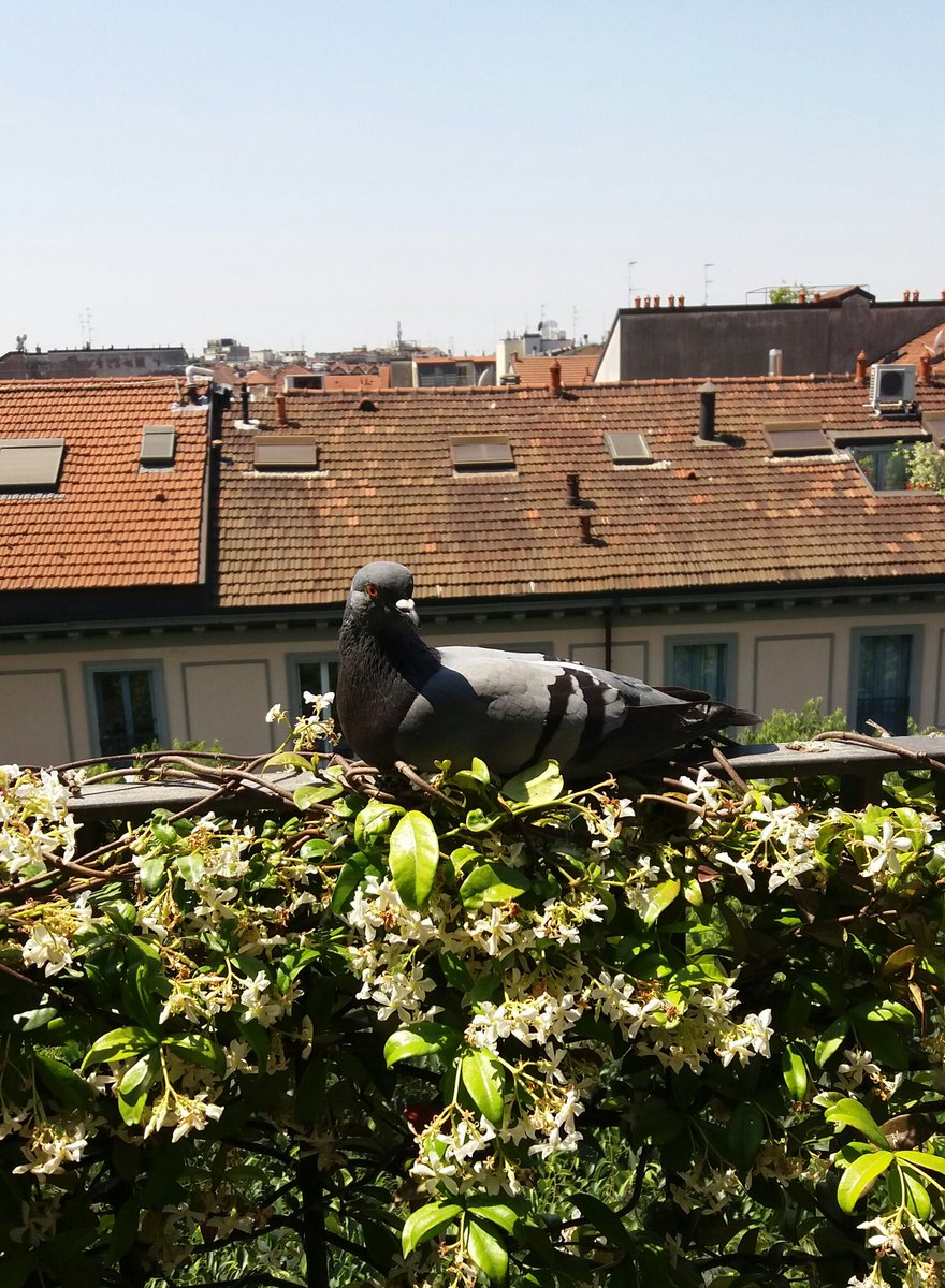 #Milan May 21 - The #pigeon on #jasmine at noon here today... #StayAtHomepic.twitter.com/GKqooLOdNS