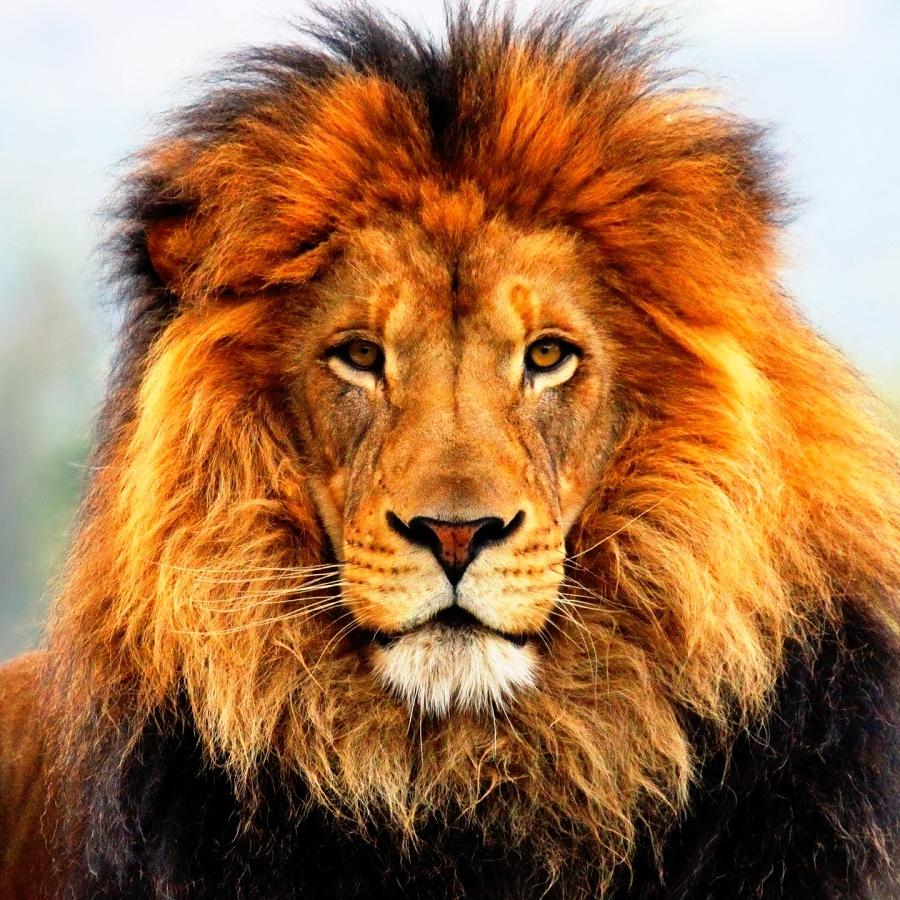 Image Lion everyday @LionPassion2  #lioncub #lioncubs #lionbabe #lionbaby #liontatoos #wildlifepictures #lionofinstagram #kingofthejungle #bigcatsofinstagram #bigcatsforever #lionsofinstagram #savethelions #wildafrica #safariphotography #wildanimal #lionlovepic.twitter.com/JyQqJDeV3g