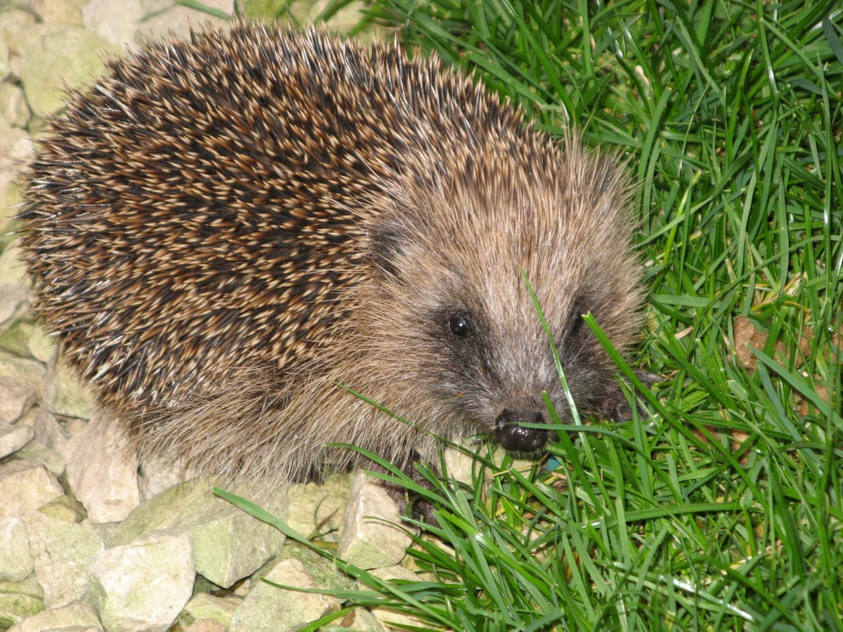 Virtual Night Safari! Join me next Tuesday night 26 May to explore the #hedgehog hogspital and #wildlife garden after dark facebook.com/events/2549907…