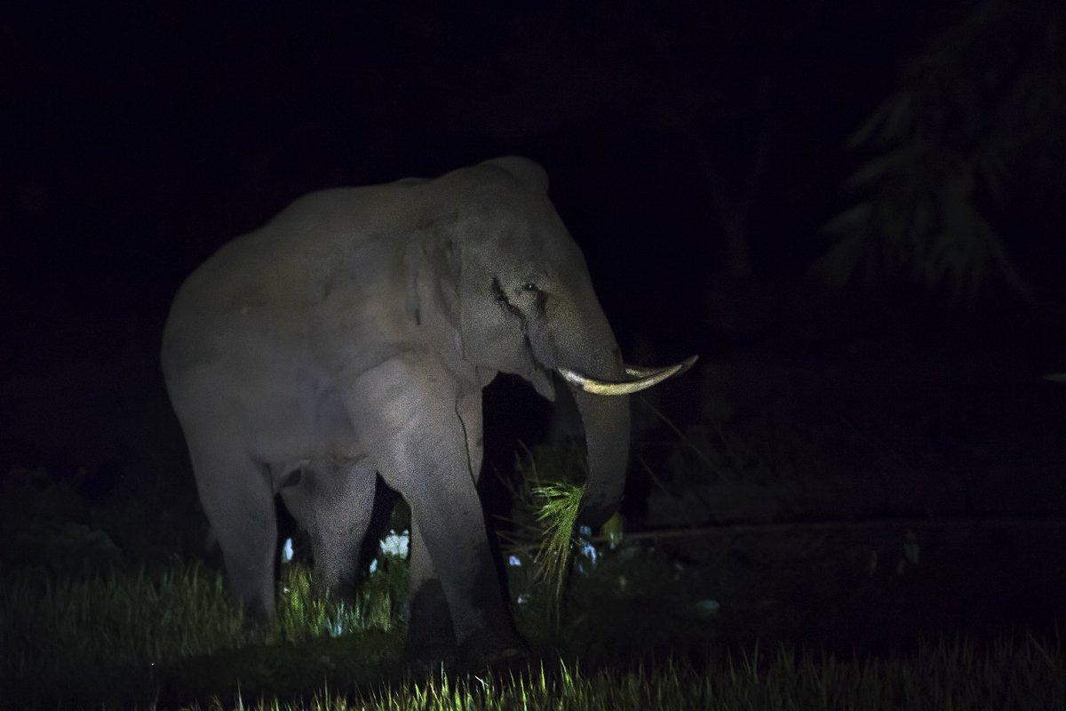 "High risk, high gain. A musth bull known as ""Lama"" with plucked fresh paddy. Nuxalbari.@NatureIn_Focus @SanctuaryAsia @vivek4wild @rohitvaarma @KalyanVarma @NatGeo @natgeowild @WildlifeMag @upasana_ganguly @nehaa_sinha @KalyanVarma https://t.co/8DBrlskhWv"