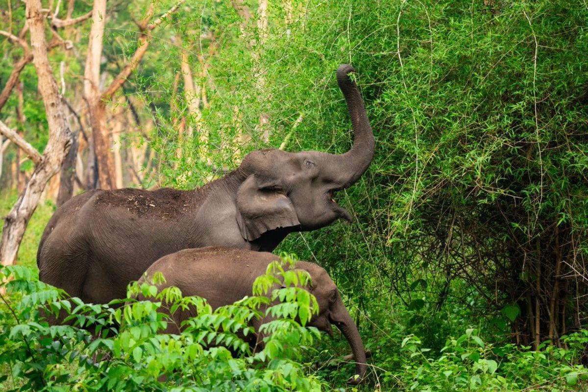 Elephants, you beauty 🐘💚 Beautiful moments captured by our #GreenCorridorChampion Dr Ramakrishnan last week while monitoring the #Nilgiri #ElephantCorridors #TamilNadu #RightofPassage #101Corridors #Gaj101 @wti_org_india @WhitleyAwards @vivek4wild https://t.co/HEgOoEOBRs