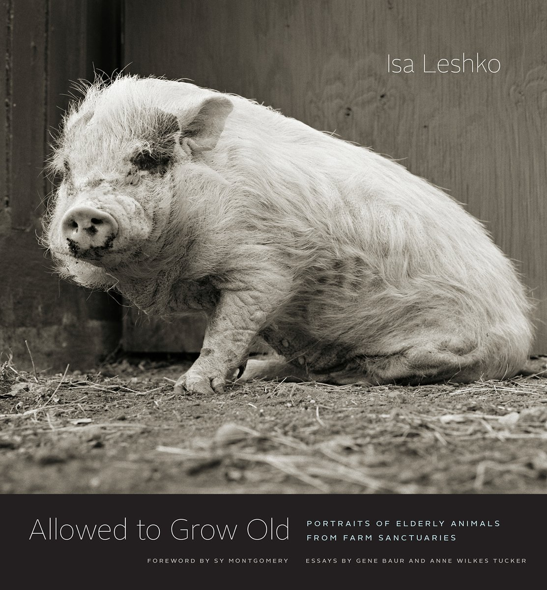 We never stop to think about it, but the typical images we see of cows, chickens, pigs, and the like are of young animals. What would we see if they were allowed to grow old? @IsaLeshko shows us, brilliantly, with this collection of portraits. #NationalPhotographyMonthpic.twitter.com/JgRTue20L0