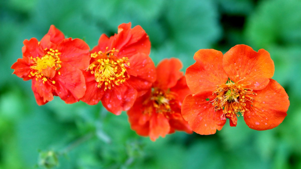 My adorable Geums like glorious fireworks popping colour in the garden #Photography #gardening #orange #flowers #lovelondon #NHSthisflowerisforyoupic.twitter.com/8yQGZqQbSa