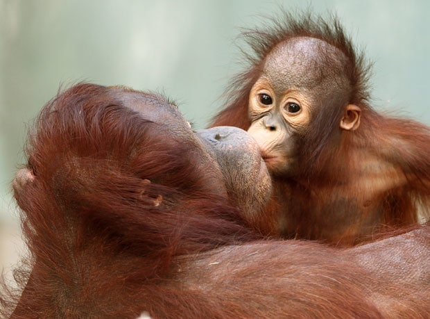 Orangutan mother take care for their young for 7-8 years, her male partner take no part of it #animal #facts #animalloverpic.twitter.com/I4jLk1vVsc