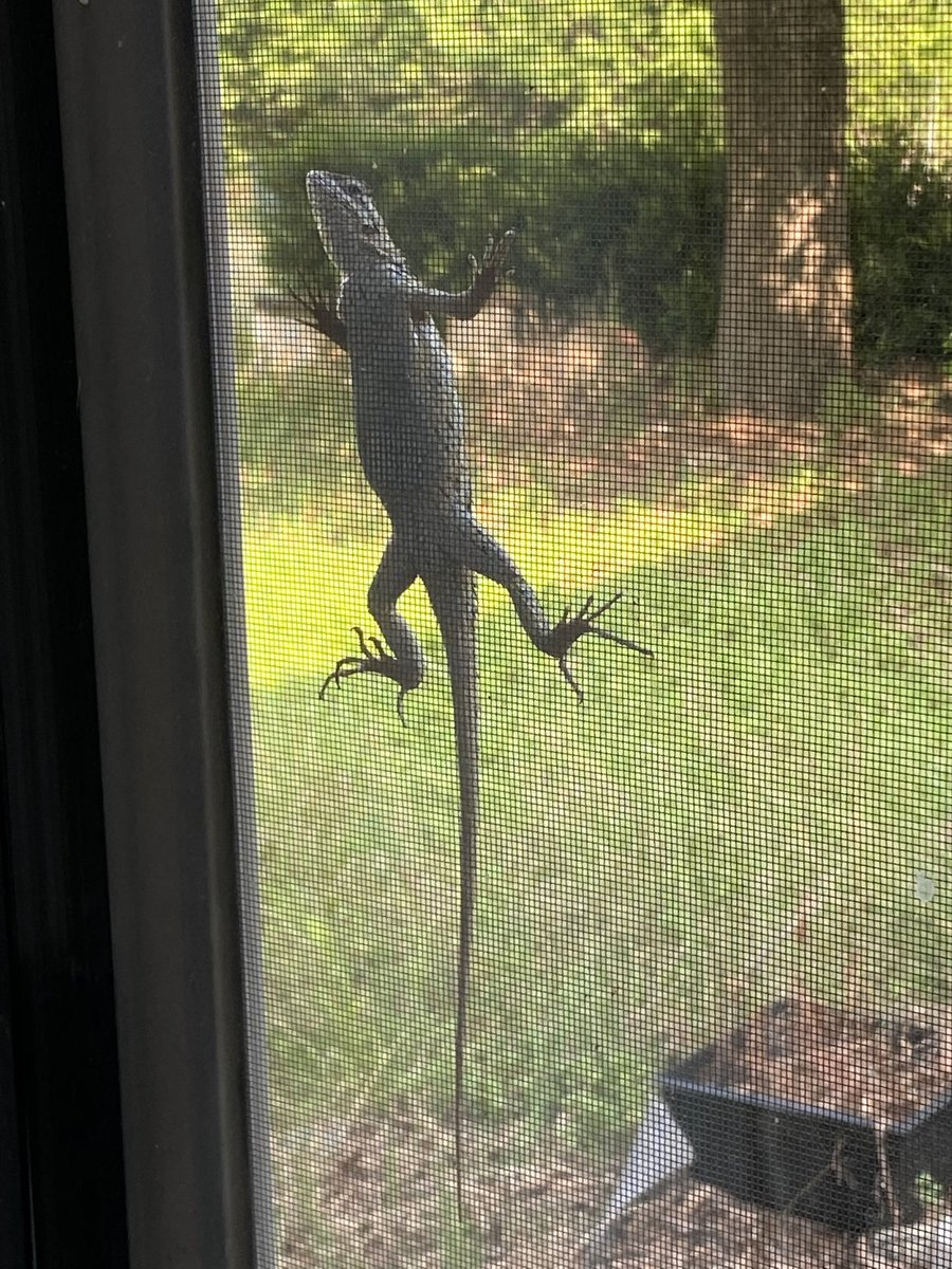 This lizard visits my mother in law almost every day. He'll have plenty to eat, there's so many bugs!!#lizard #godzillababypic.twitter.com/qP9sqRIzdx