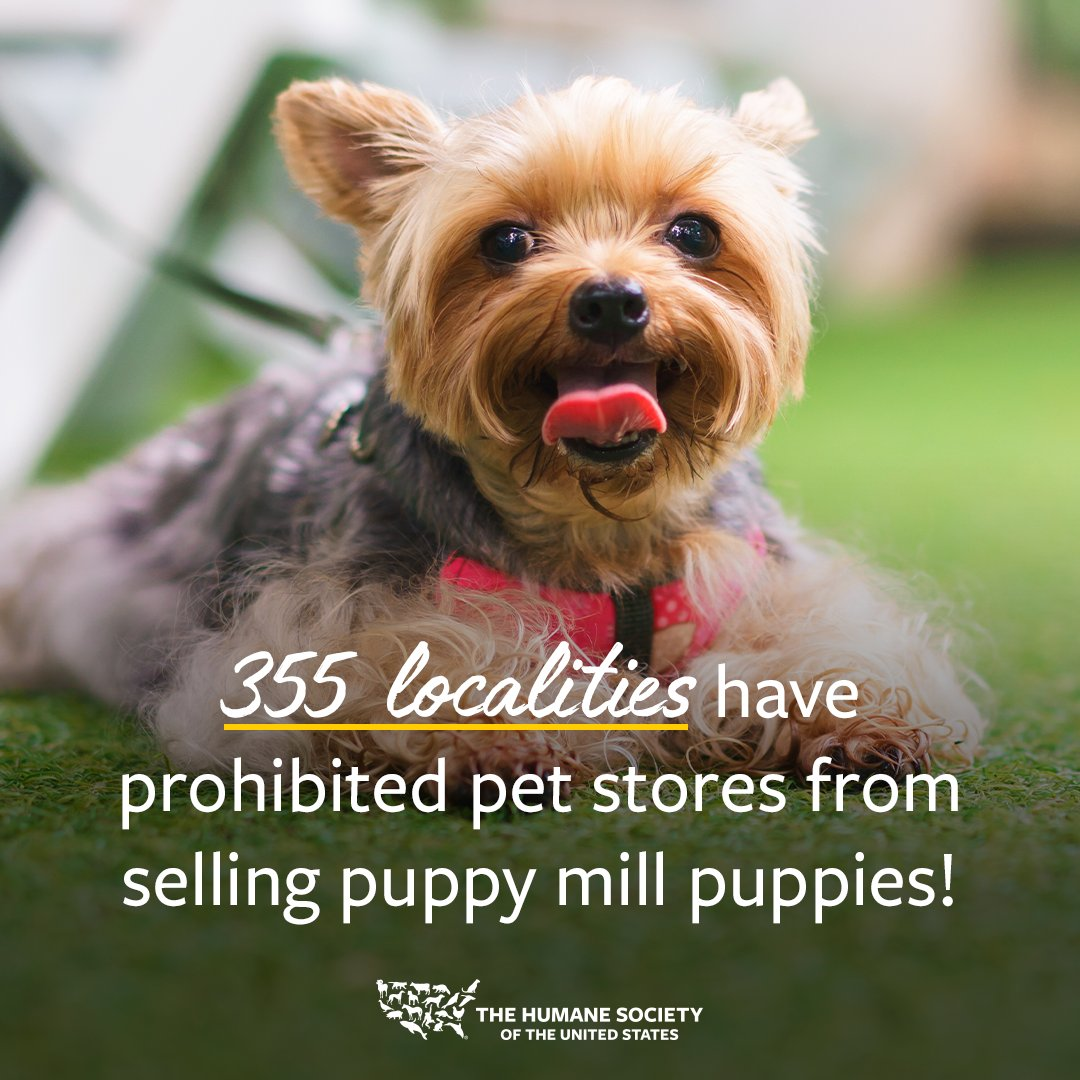 GREAT NEWS! 🎉Thanks to your support, we've reached a milestone with local pet store ordinances. To date, 355 localities have prohibited the sale of puppies in pet stores to protect both consumers and animals! 💙