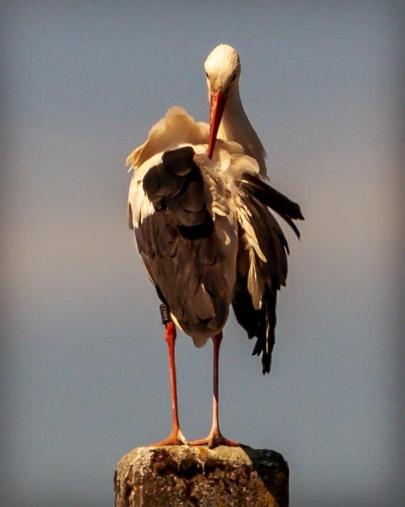 une #cigogne en train d'arranger son plumage  #stork #storch #nature #natur #naturphotography  #instanature  #oiseau #bird #vogel #naturestagram  #bns_animals #bns_nature  #instaanimal  #wildlifephotography #wildanimal #wildlife  #grandestnotreregion #gr… https://instagr.am/p/CAddZ2KqaNN/pic.twitter.com/wT6JE8kRJI
