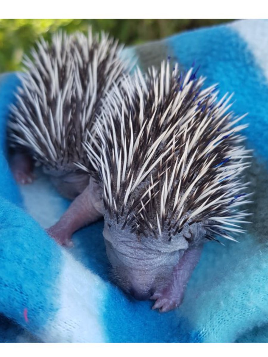 Please take care when #gardening These week-old #hoglets are now in the care of one of our volunteers as their nest was disturbed and mother killed by a garden fork. Please check hedges and undergrowth before you use a fork, spade or #strimmer please rt #Springwatch #hedgehog