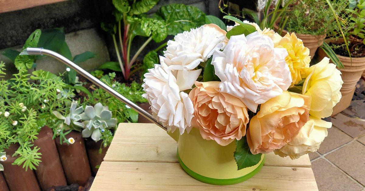 近くにあった水差しに入れてみました😅  #デビッドオースチン #デビッドオースチンロージズ #イングリッシュローズ #englishrose #DavidAustin #davidaustinroses #rose #ローズ #バラ #薔薇 #園芸男子 #ガーデニング #園芸 #ベランダガーデニング #gardening https://t.co/4KqjCVZGxY