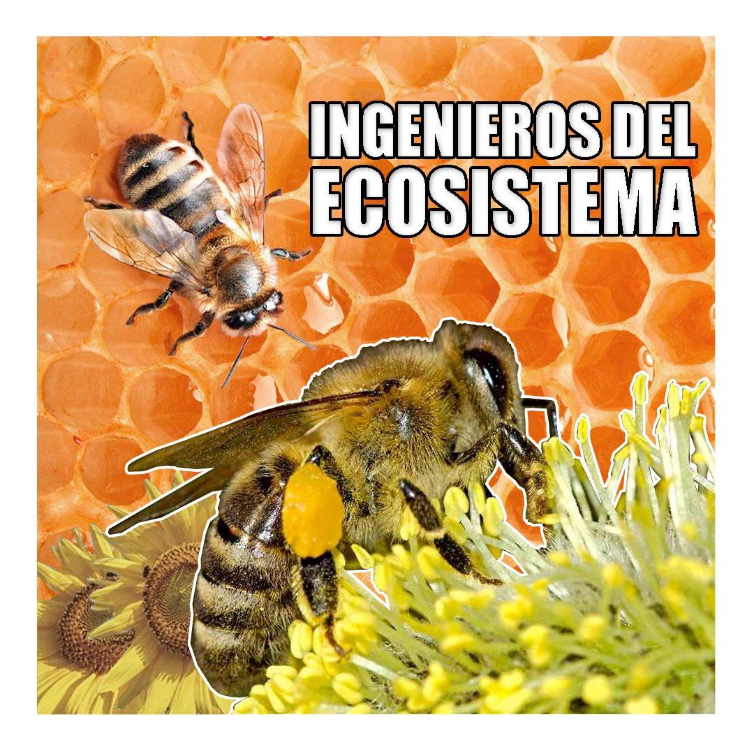 Las abejas son esenciales para la agricultura, indicadoras de la salud del medio ambiente y promotoras de la biodiversidad. Pese a que pitan el título de ingenieras del ecosistema, cada día están más expuestas al peligro de su extinción. #DiaDeLasAbejas #MedioAmbiente #Abejaspic.twitter.com/TYVJpyQSCe