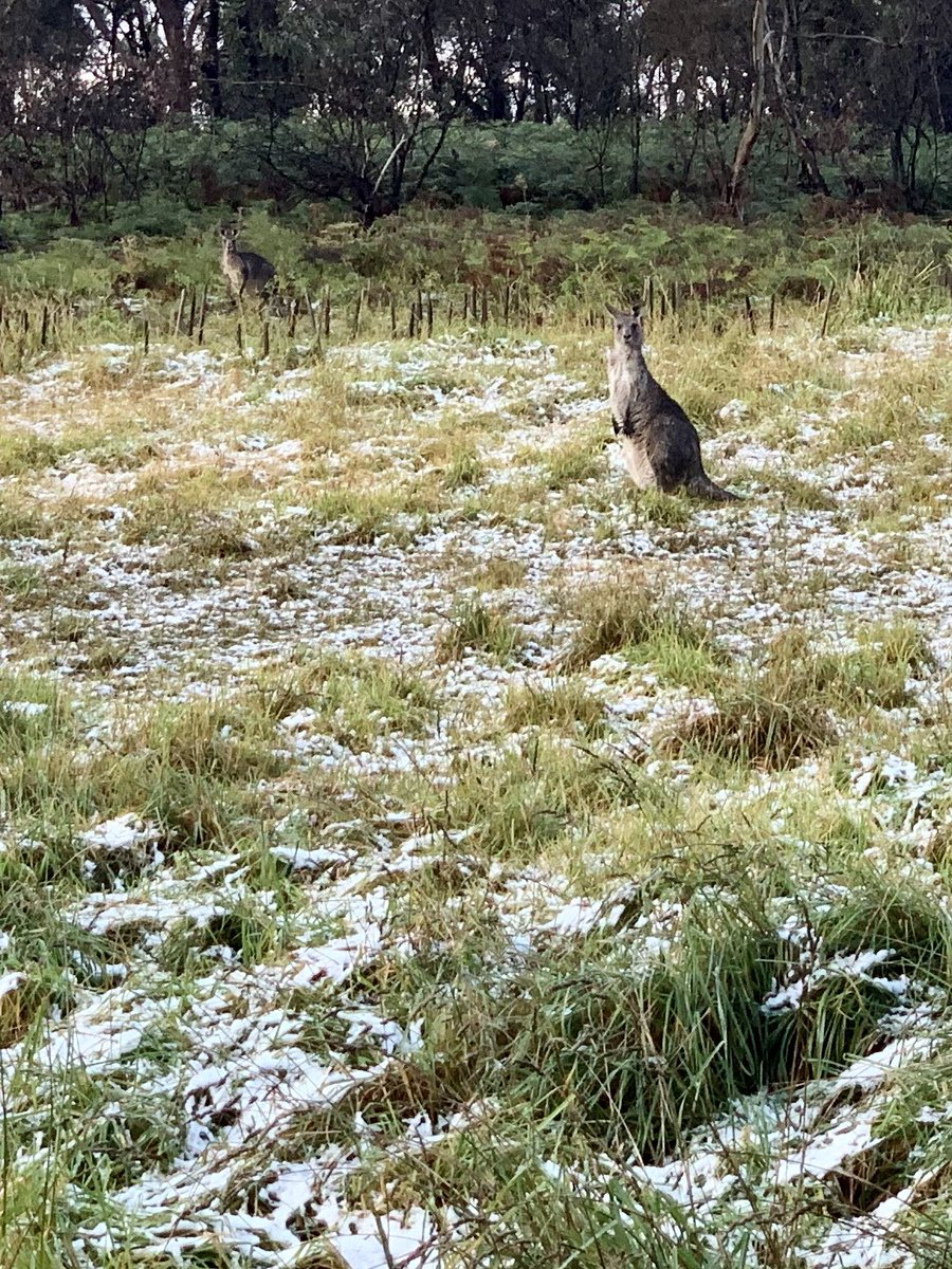 #Kangaroos in the #snow, #BlueMountains this morning.pic.twitter.com/oTsHcrEI8Y