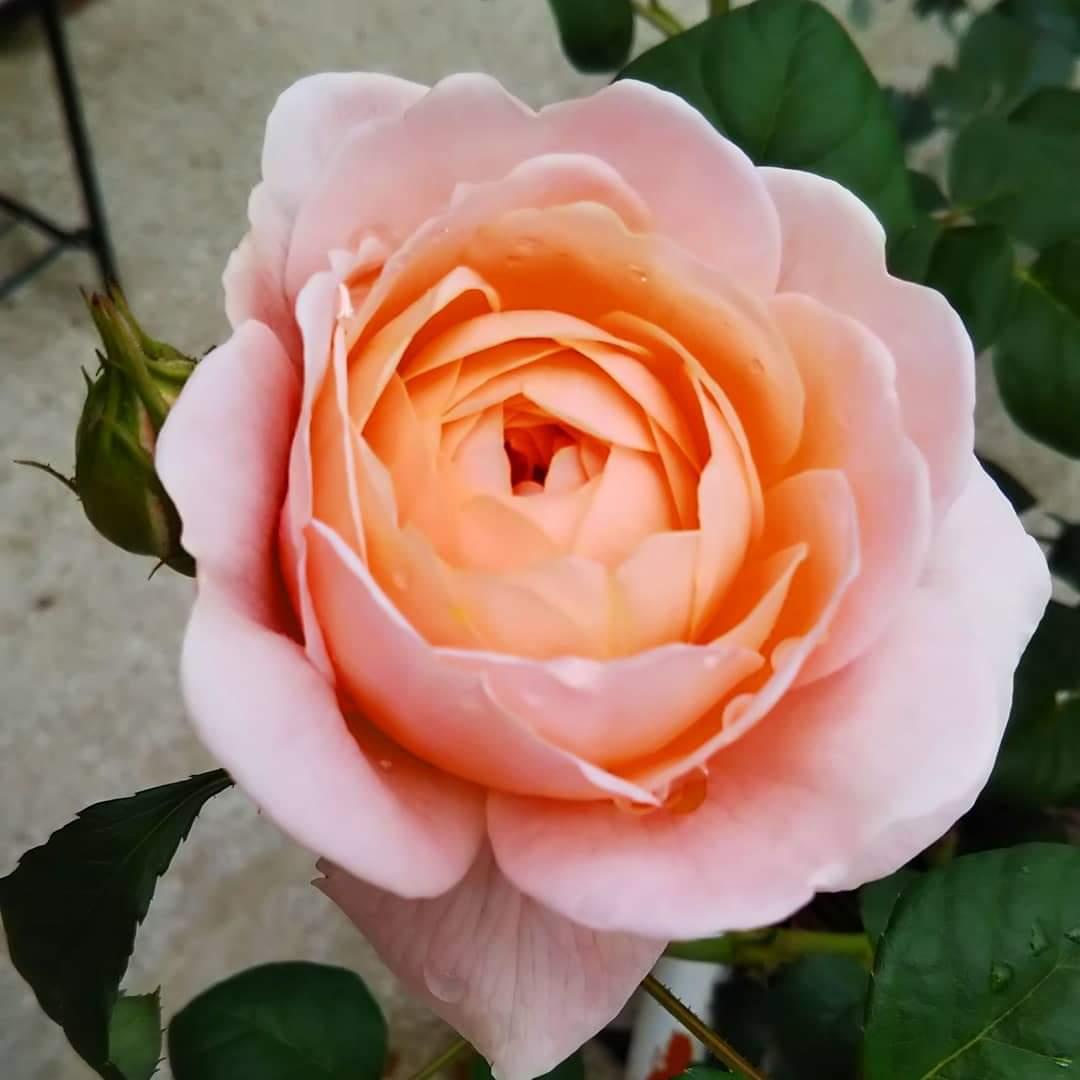 午前と午後で少しだけ色変わった? 午前は秋っぽいサーモンピンク、午後は可愛いピンクっぽくなったような気がする🌹  #バラ #イングリッシュローズ #デビッドオースチン #クイーンオブスウェーデン https://t.co/LmH6ndcusz