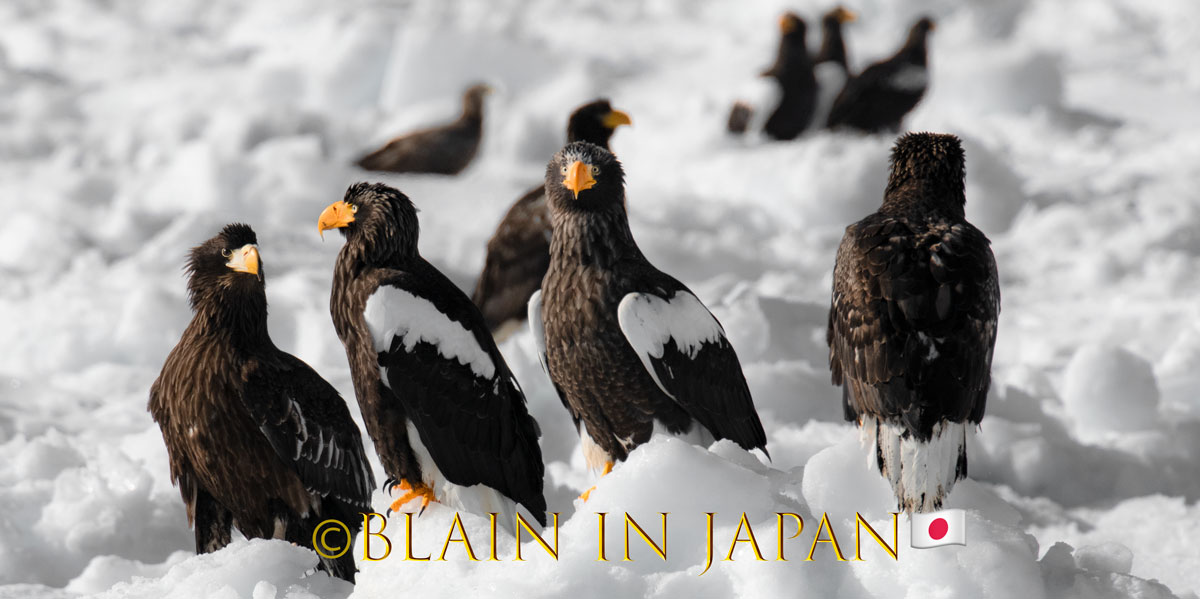 Pack-ice Conference - Steller's Sea Eagles #Japan #visitjapan #japanfocus #photography #birding #birdingphotography #packice #travel #travelphotography #stellersseaeagle #japandreamscapes #日本 #バードウォッチング #オオワシ #旅 #旅行 #ファインダー越しの私の世界 #北海道pic.twitter.com/nrsRO5NKr9