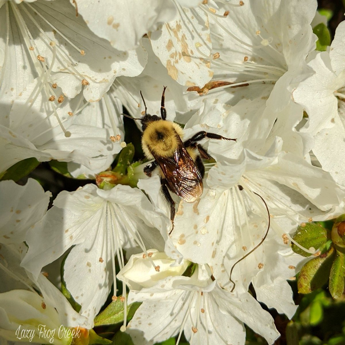 #savethebees #WorldBeeDay #bee #nature #flowers #pollinators #WildlifeWednesday #animals #azalea #NewJerseypic.twitter.com/fDv0d0cFvq