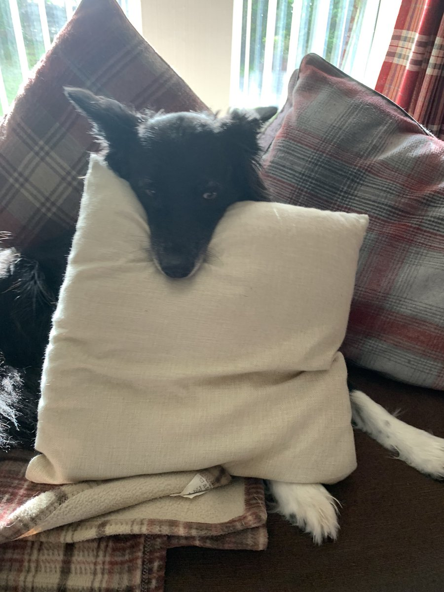 A black and white fox stole my pillow today.  #dogsoftwitter. pic.twitter.com/AnYmar7PmW