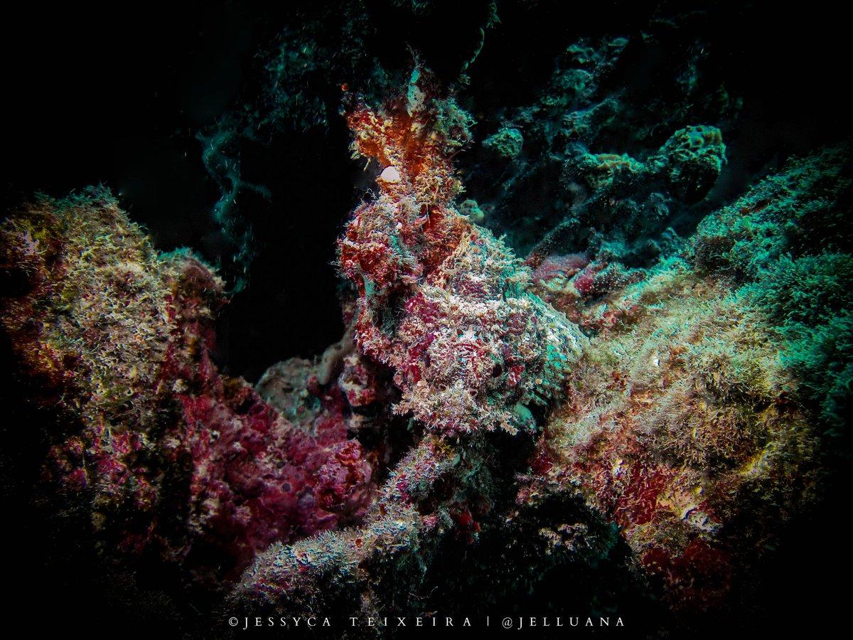 O melhor do melhor do mundo em se camuflar. #Scorpaenidae  #marinelife #scubaphotos #marinebiology  #sealife #naturephotography #conservationbiology #diving #shark #fish #ocean #oceanphotography #oceanphotos #underwater #savetheocean #exploretheocean #underwaterphotopic.twitter.com/IRd9Ii36Rr