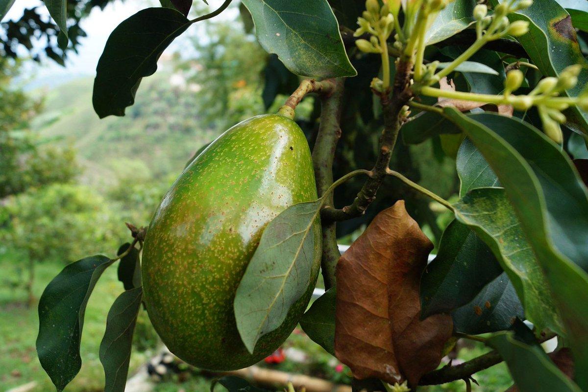 6 cose da sapere sull'avocado - http://Benessereinformati.com https://buff.ly/35XVE2g #alimentazione #frutta #avocadopic.twitter.com/BfkVldA8n3