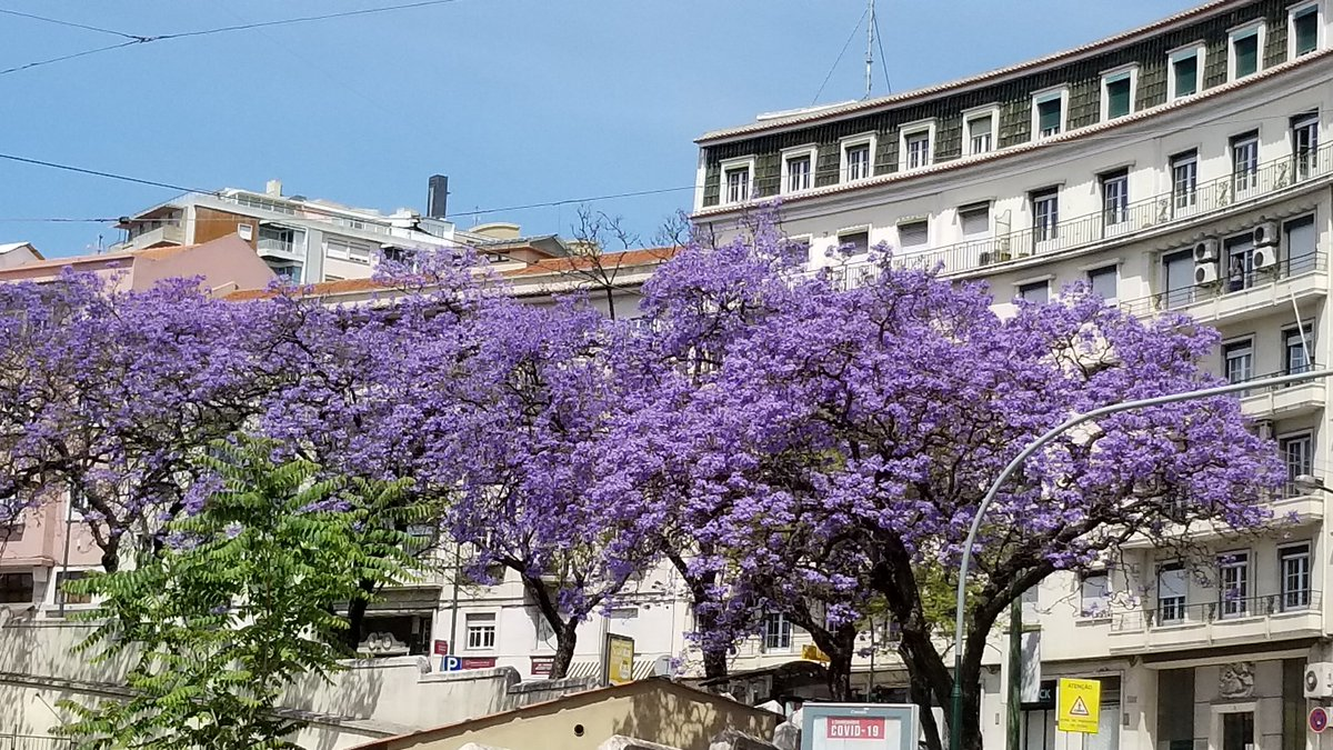 On the International Day for Biological Diversity, I appreciate the beauty of the #Jacaranda trees that adorn the streets, squares and parks of #Lisbon. #BiodiversityDay2020pic.twitter.com/L5bu66mjXv