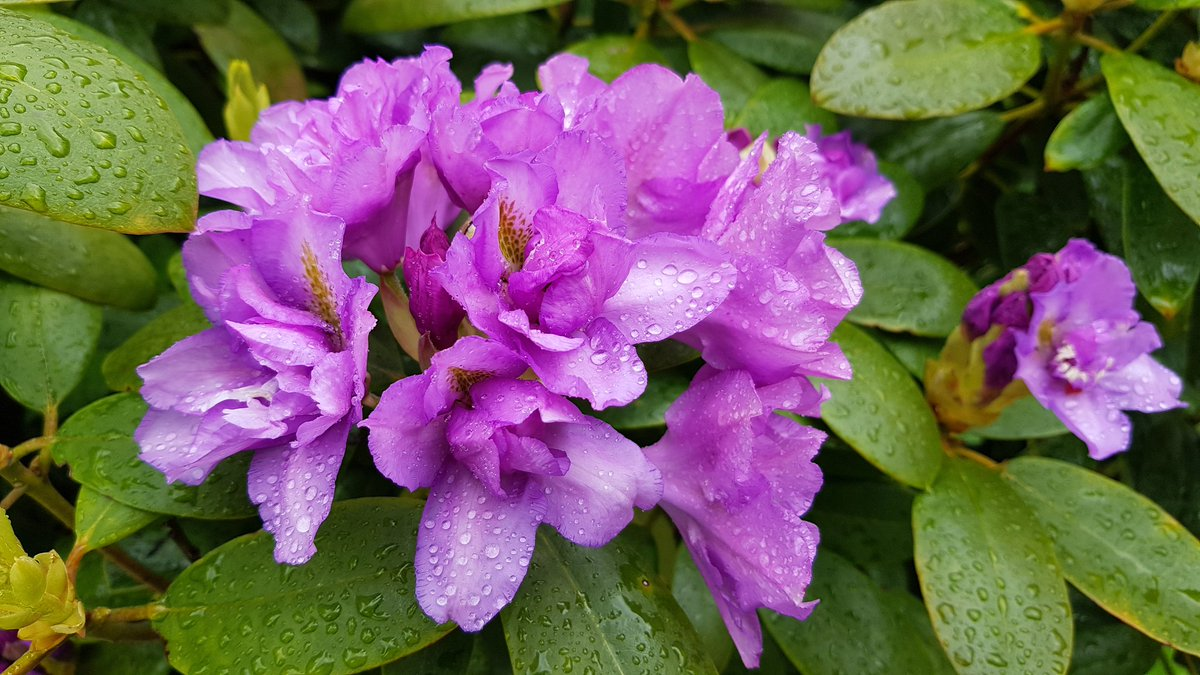Beautiful blooms even in the rain #Rain #Weather #weekend #fridaymorning #pretty #petal #Flowers #DailyExercise #walking<br>http://pic.twitter.com/XzjfdzRA1t