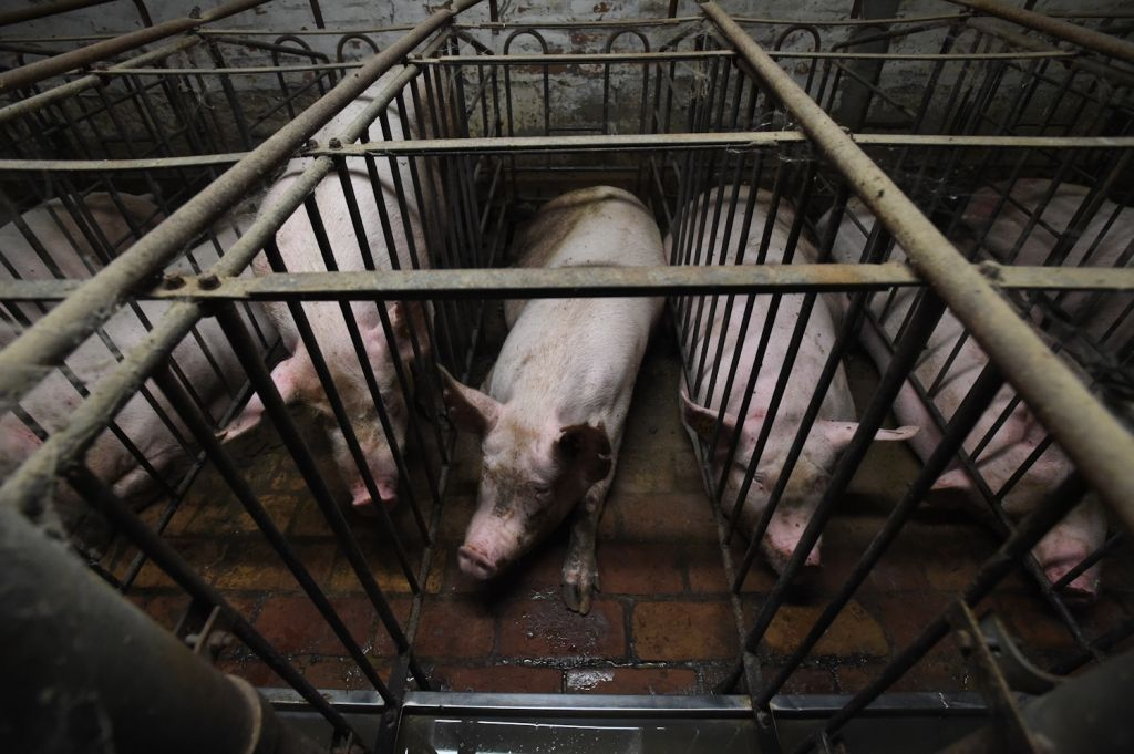 """This quote is from the National Pork Producers Council:  """"So our animals can't turn around for the 2.5 years that they are in the stalls producing piglets. I don't know who asked the sow if she wanted to turn around…""""  How does this make you feel?  📷 Jo-Anne McArthur/@WeAnimals https://t.co/eoJAyybUqm"""