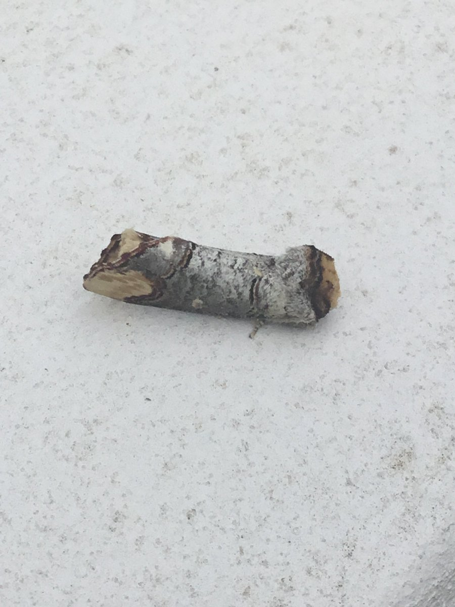 Wow!  That's amazing!  Very colourful!  We found this on our windowsill yesterday which we initially thought was a piece of stick but turns out its a Buff-tip moth!<br>http://pic.twitter.com/tXafxNJGyb