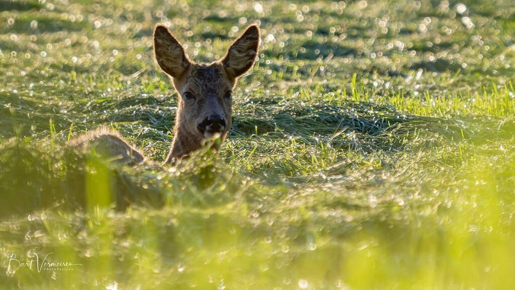 Jonge ree bij avondlicht. . . . . . #nuts_about_wildlife #animalelite #splendid_animals #shots_of_animals #animals_captures #all_animals_addiction #marvelouz_animals #exklusive_animals #nature #exclusive_wildlife #naturelovers #bns_nature #wildlife_perfe… https://instagr.am/p/CAfz_QWAmaG/pic.twitter.com/zcQTZ3tMzy