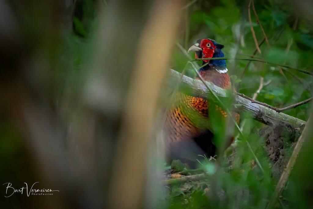 Fazant / Common Pheasant . . . . . #nuts_about_wildlife #animalelite #splendid_animals #shots_of_animals #animals_captures #all_animals_addiction #marvelouz_animals #exklusive_animals #nature #exclusive_wildlife #naturelovers #bns_nature #wildlife_perfec… https://instagr.am/p/CAfZmwRAHGj/pic.twitter.com/UMeMAUI21K