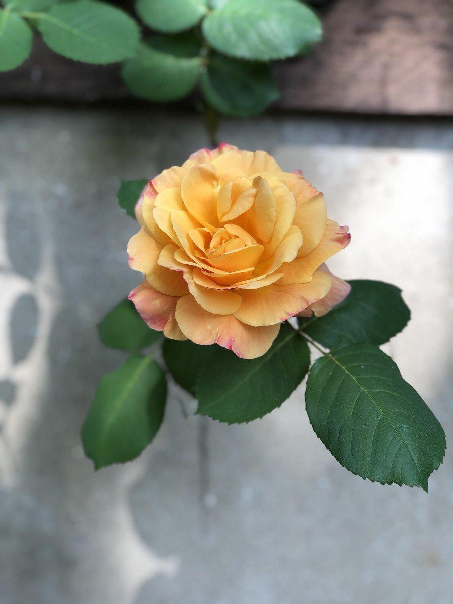 A rose of orange from http://Natureofflowers.com #flowers #roses #rose #orange #mychelseagarden #garden #gardeningpic.twitter.com/wt5TVw19Tt