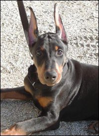 """Ear cropping in Dobermans have a """"purpose"""", there's 3 lengths:  Long: Show dog, club standards.  Medium: Dogs that will be family pets.  Short: For guard/attack dogs.   Note: don't start a debate on the cropping & docking of dogs. I'm here to  inform of the why. pic.twitter.com/fDeejDeuyI"""