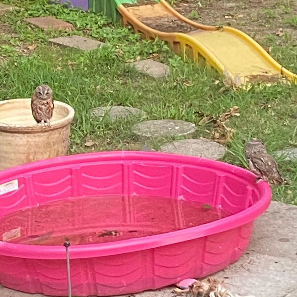 a family of 6 little owls took over my friends back yard? owl POOL PARTY?????