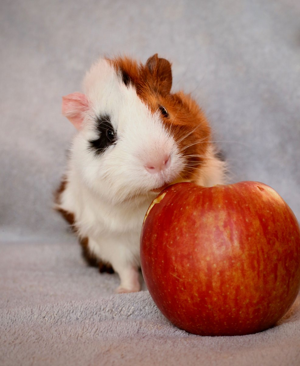 Apples are red Strawberries are too Food is life And I won't share with you  - by Ollie  #guineapig #pet #poem #poet #cutepic.twitter.com/eABehpeYD0