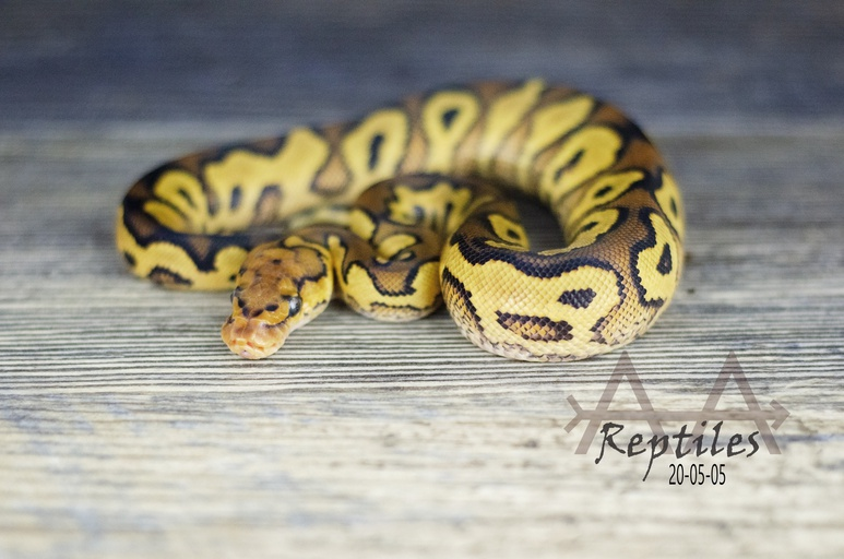 Leopard ODYB Clown 50% Het Pied Male Ball Python by Double A Arrow Reptiles, $5000 #snakes #reptiles #herp #pet https://www.morphmarket.com/us/c/reptiles/pythons/ball-pythons/345785?utm_source=twitter&utm_medium=post&utm_content=345785&utm_campaign=twitter-featured-ad…pic.twitter.com/NyGew3uG7b