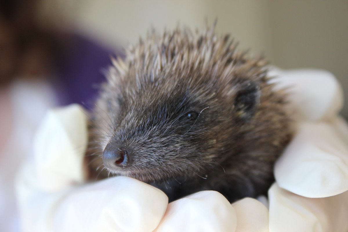 I hope you will join me next Tuesday night 26 May for a tour of the #hedgehog hogspital and #wildlife garden at night. Lots of tips about helping our prickly pals facebook.com/events/5649387…
