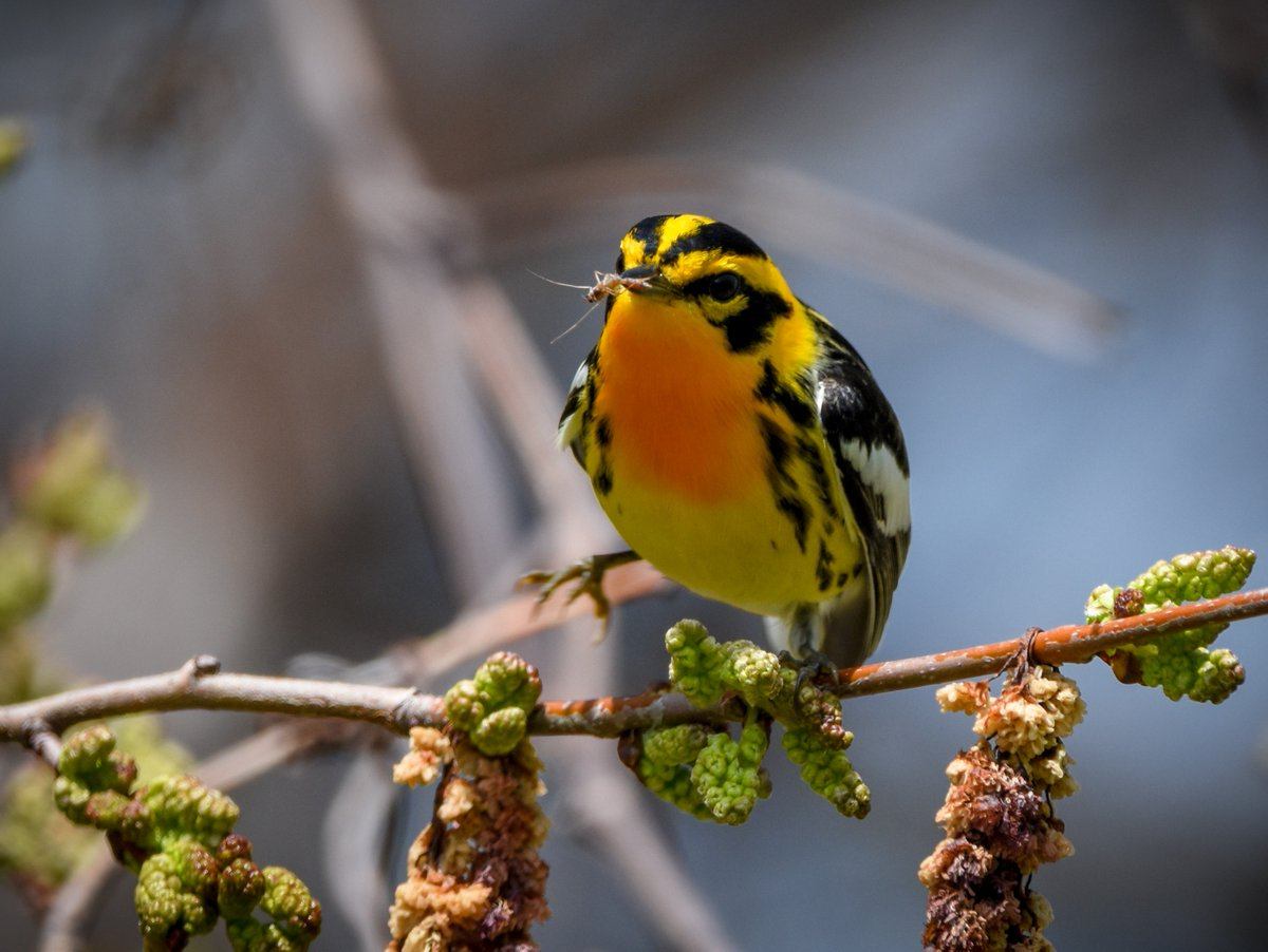 What are the warblers doing when they stop during migration? Eating bugs, of course. #migration #spring #may2020 #bugeater #naturelovers #birdwatching #naturepic.twitter.com/xDPkqSUr5K