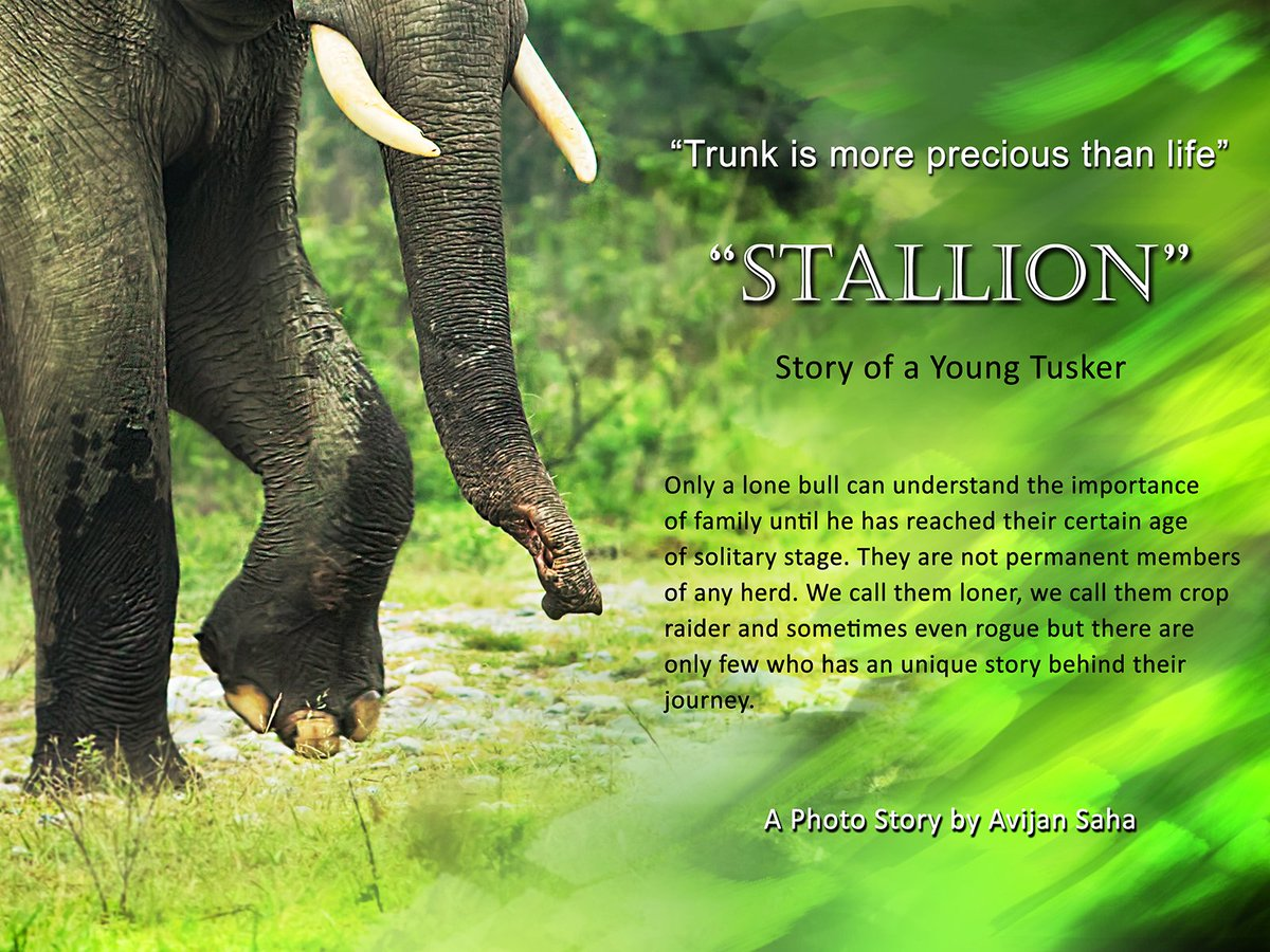 """""""Stallion"""" story of a young tusker will come up shortly. last 4 year of observation while this tusker drove out from her family by a Breeding bull. @SanctuaryAsia @NatureIn_Focus @wti_org_india @NatGeo @vivek4wild @dipankarghose @rohitvaarma @nehaa_sinha https://t.co/7rwuiUsv3T"""