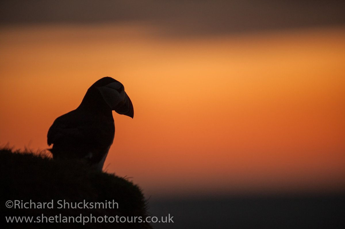 Puffin just after sunset Hermaness #Shetland