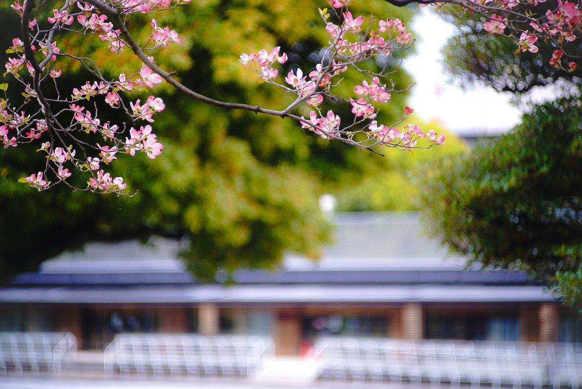 こちら先月の写真です。皇居外苑でハナミズキがほんのり淡く咲いていたので日本光学 8.5cm f2で撮ってみました。桜が終わった後、ピンク色の花が恋しくなった頃ですね。もちろん、あの歌を歌いながら撮りましたよ♪百年続きますように♪  #オールドレンズ  #ハナミズキ pic.twitter.com/Ig452WcL4C