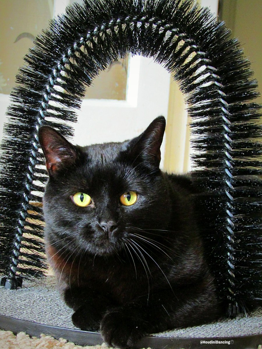 BLACK CATS ARE BEAUTIFUL!  Enjoy your #caturday friends #HoudiniDancing #cat #cats #catlovers #love #black #blackcat #blackcats #blackcatsrule #animal #Ambassacats #AdoptDontShop #catsoftwitter #Twitter #catlife #dance #meow #catsofinstagram #catsoftheday #pet #pets #smilepic.twitter.com/RqaivT5I4I