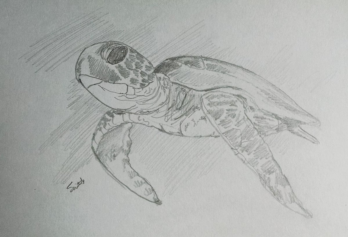 A pencil study of a young Green Sea Turtle.