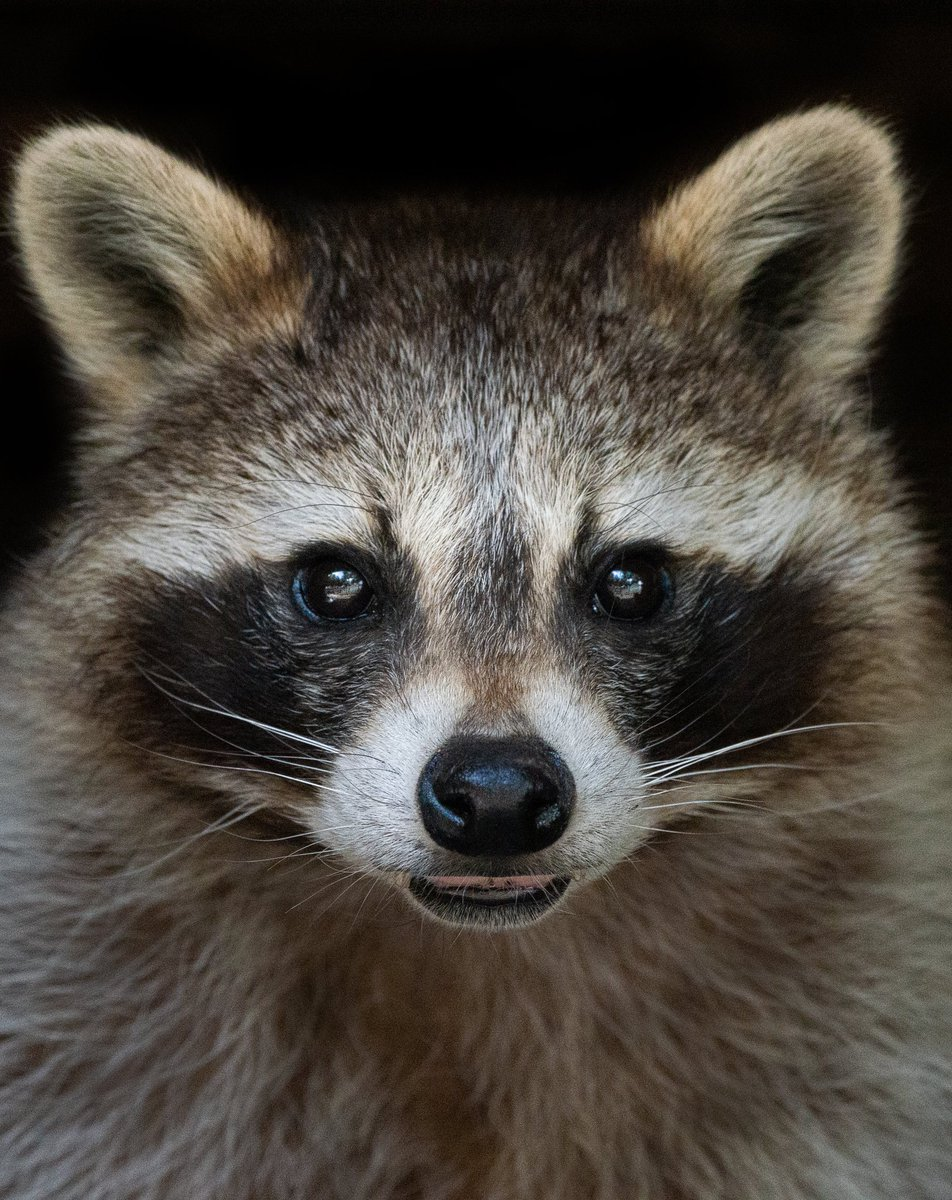 Raccoon portrait   #animal #animalphotography #portrait #nature #cute #photography #animallovers #photographylovers #photooftheday #raccoon #photographyislife #photographyismypassionpic.twitter.com/ZqEuPwQSZO