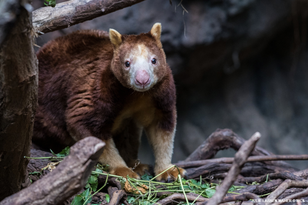 As their name suggests, tree kangaroos spend most of their time up in the trees! They have strong forelimbs to help them climb and their darkish red color is excellent camouflage. Have you ever stopped to watch ours in JungleWorld? #TreeKangarooDay