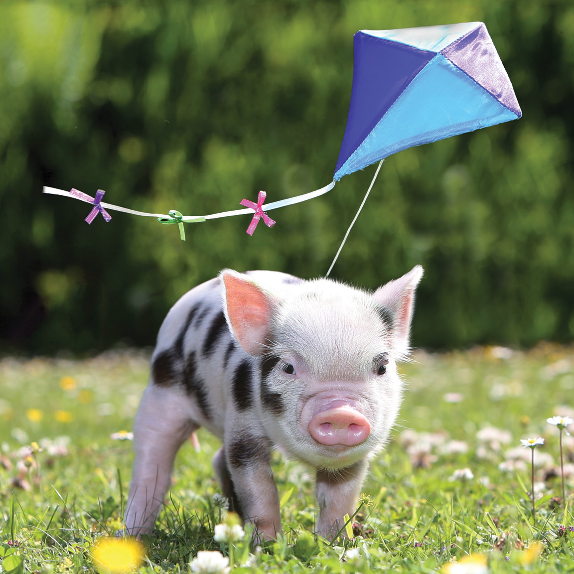 A nice piggy pic to brighten your day on this kite flying kind of Saturday. Hopefully well be flying high with visitors again in the not too distant future #pennywellpigs #halfterm #piggycuddles @VisitDevon @DevonTopDaysOut @visitsouthdevon @visittotnes @VisitDartmoor