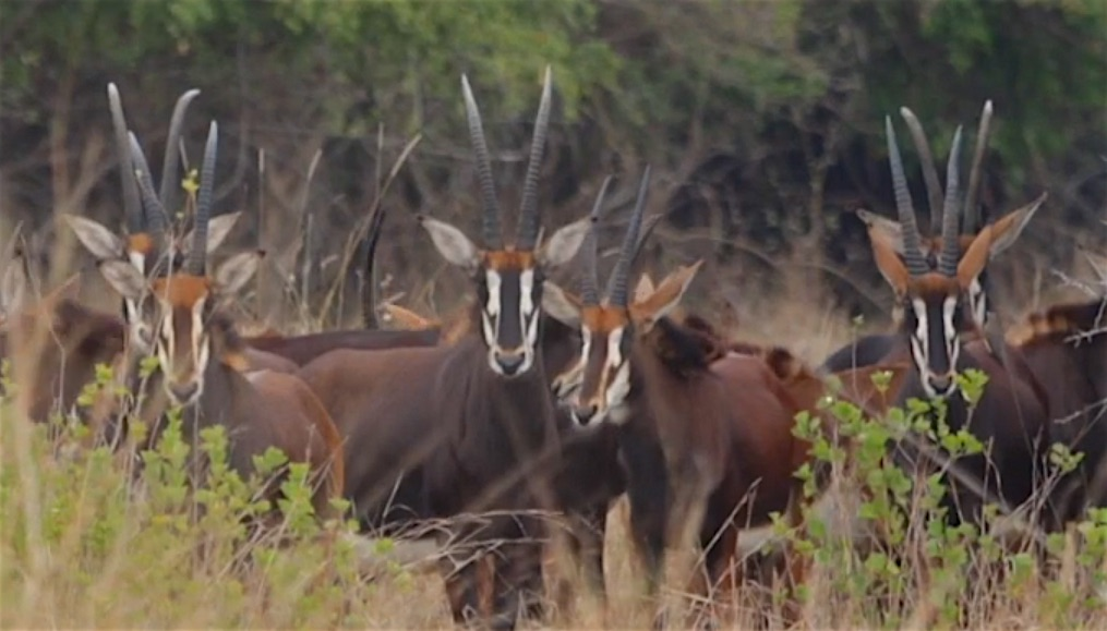 Grassland Grazers: Gorongosa Safari with Test Malunga https://youtu.be/L0lfjogiNlQ   #Gorongosa #GorongosaNationalPark #Safari #SaturdaySafari #Sable #Africa #Mozambique #grasslands #wildlifewednesday #coffeetime #gorongosacoffee @GorongosaCoffeepic.twitter.com/aIxMM1eFbH