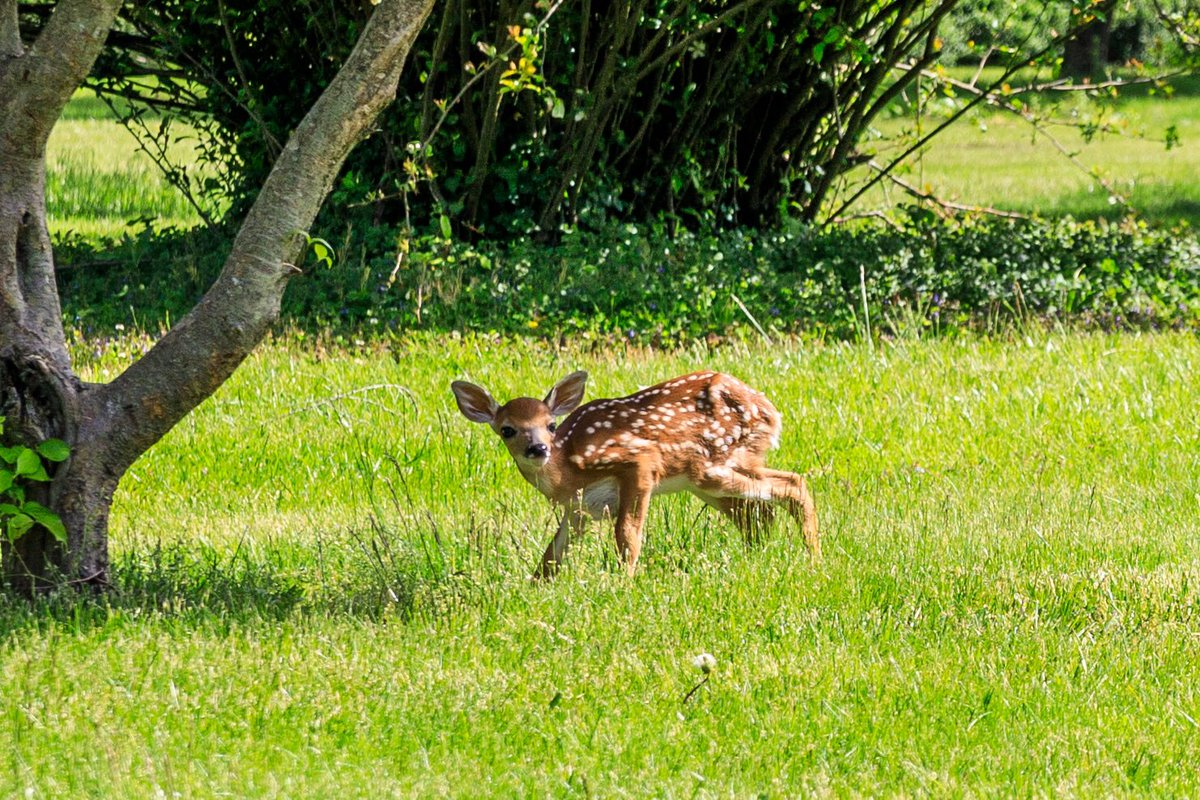 Good morning everyone and happy Saturday!! Dawn and I were walking through a local park yesterday when we spotted Bambi... I have never seen a fawn in person, in a zoo or otherwise #fawn #deer #wildlifephotography #animal #canoneosr #eosr #canon #canonusapic.twitter.com/1cI7nmc8cW