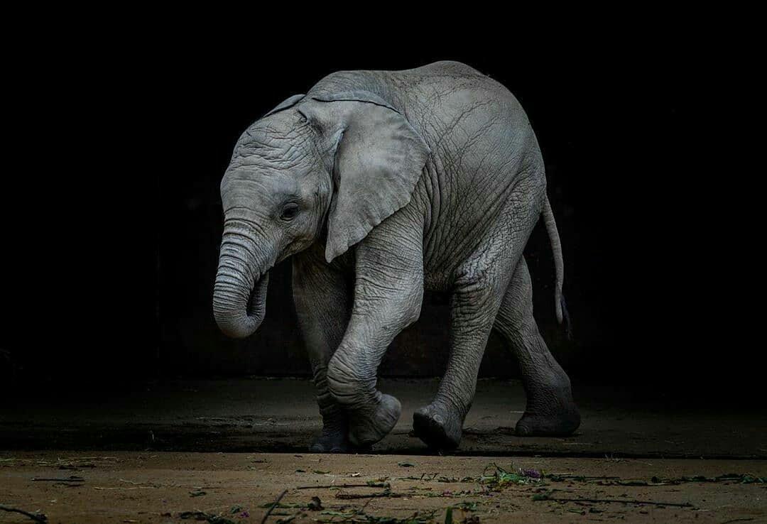 Repost from @beautifulelephants  -  Beautiful Elephants!  . . .  Save the Elephants!  Credit @photography_by_dmc #beautifulelephants #stoptheivorytrade #elephantrescue #savetheelephants #elephant #elephants #elephantlove   -  https://www.instagram.com/p/CAh-1HUgtwO/?igshid=h9oyr30mc7vj…pic.twitter.com/lwC7bb48cI