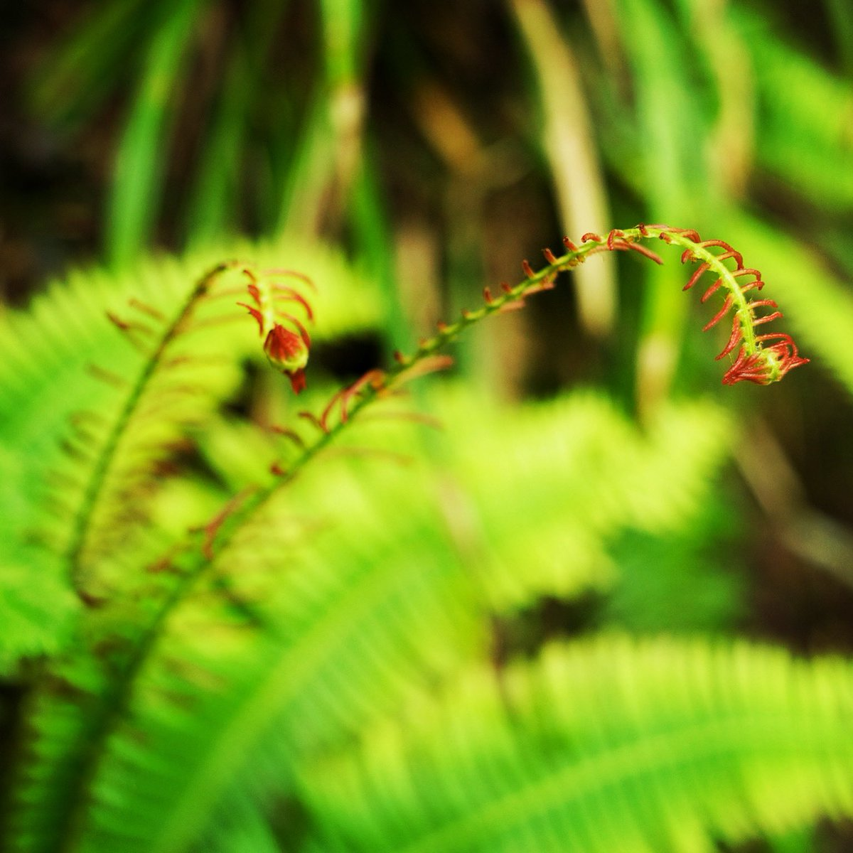 The Fern #snapshot #fernplant #intheforest #写真好きな人と繋がりたい #キリトリセカイ #ファインダー越しの私の世界 #東京カメラ部 #東京写真部 #pashadelic #森の中pic.twitter.com/R6ITrxKOoj