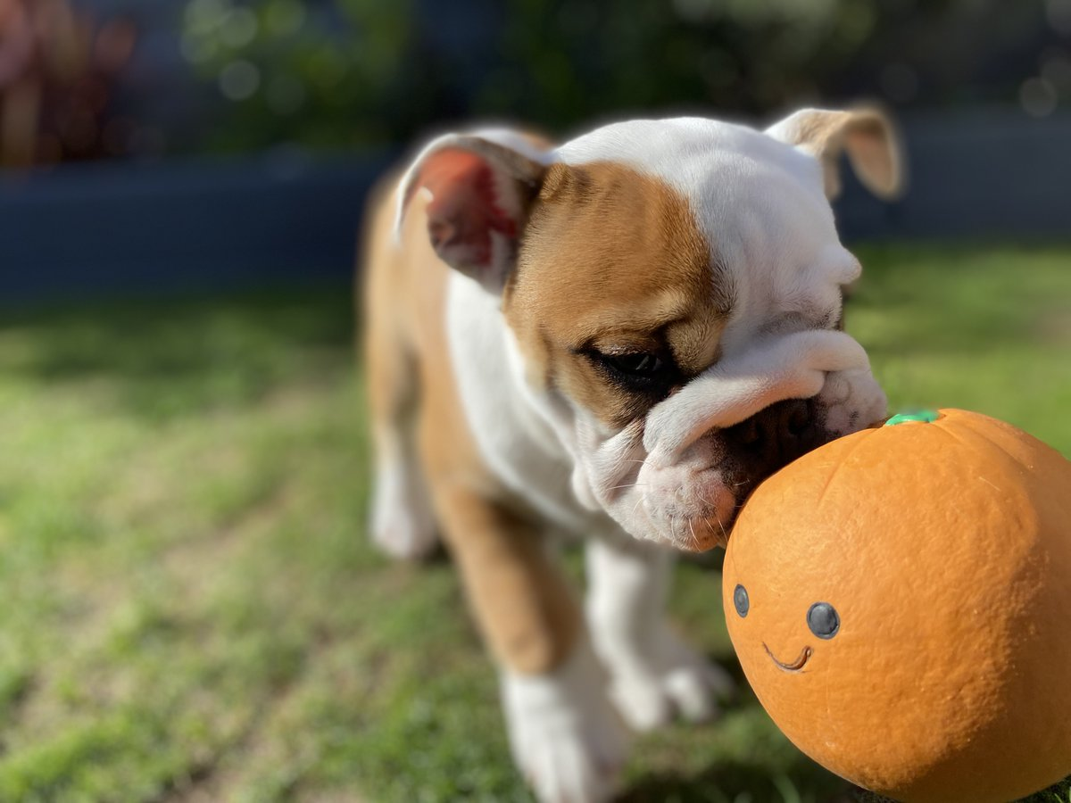 So this is my most favourite squeaky toy but one of the big people thinks it's an orange  and the other thinks it's a pumpkin  but I don't care as it's MINE Barney #BarneyTheBulldog #Orange #Pumpkin #OrangeVsPumpkin #AllMine #Squeaky #BulldogDays #PuppyLifepic.twitter.com/w4wZiHAufV