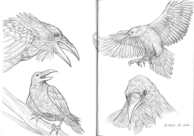 Study of raven. #sketchbook pic.twitter.com/F2NPfZfnay